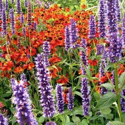 Agastache and Helenium plant combination