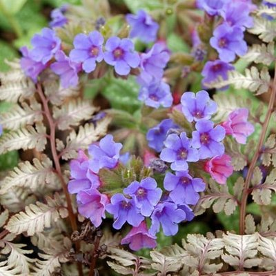 Pulmonaria and Athyrium plant combination