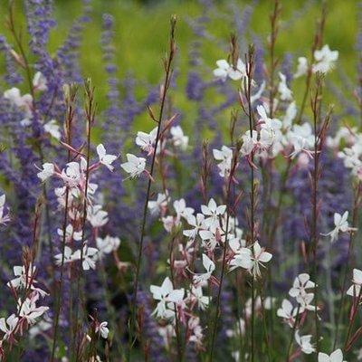 Oenothera and Perovskia plant combination