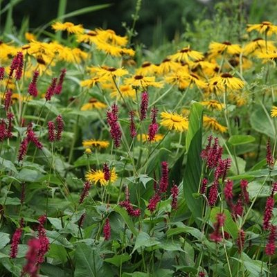 Inula and Persicaria plant combination