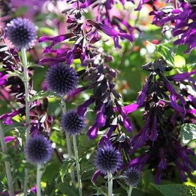 Echinops and Salvia plant combination
