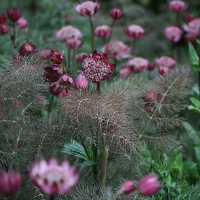 Foeniculum and Astrantia plant combination