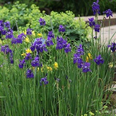 Iris Caesar