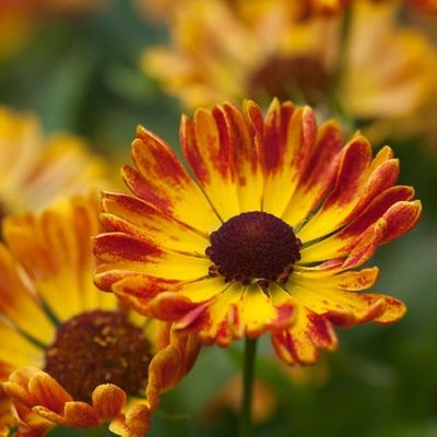 Helenium autumnale Fuego (PBR) (Mariachi Series)