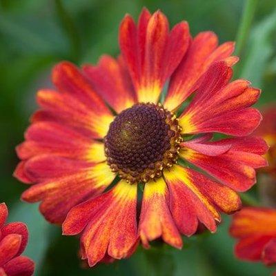 Helenium autumnale Salsa (PBR) (Mariachi Series)