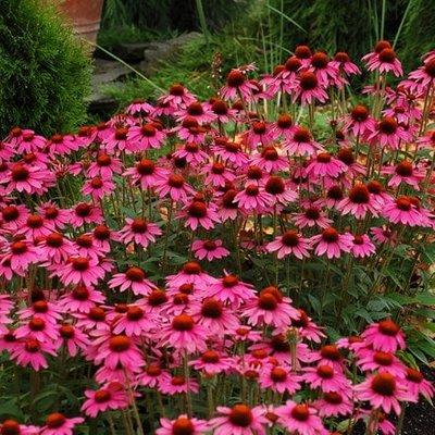 Echinacea Amazing Dream (PBR)