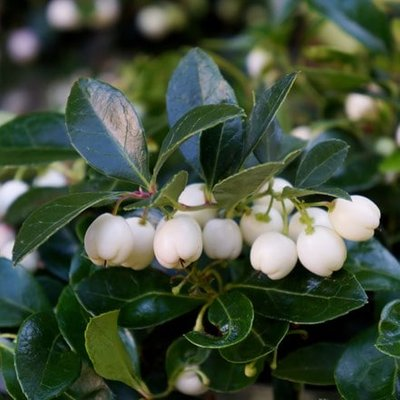 Gaultheria procumbens Gaulthier Pearl (