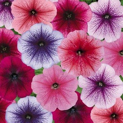 Petunia Frenzy Reflection Mix (Frenzy Series)