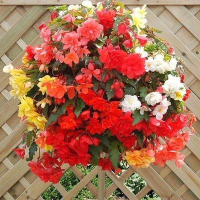Begonia Illumination Series