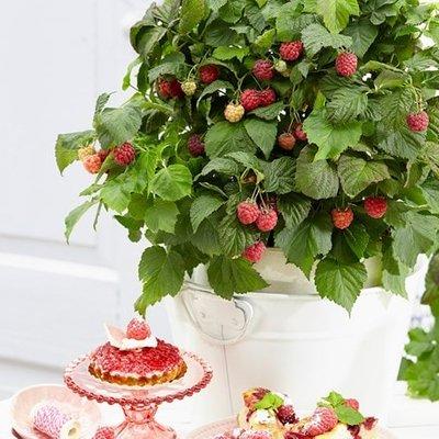 raspberry BonBonBerry Yummy (