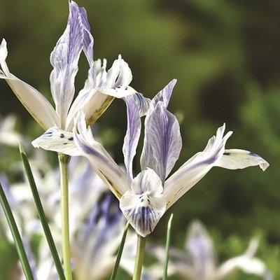 Iris Painted Lady (Reticulata)