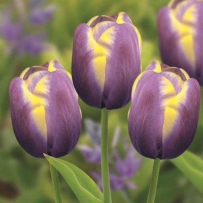Tulipa Arabian Beauty