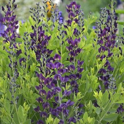 Baptisia Grape Taffy