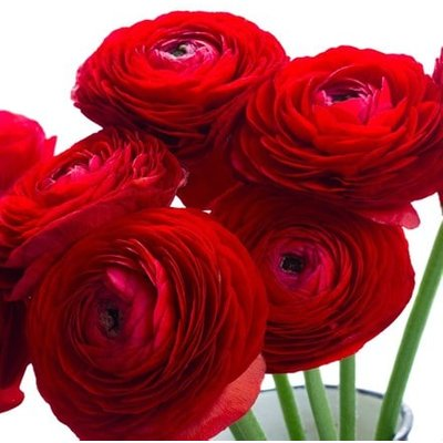 Ranunculus asiaticus Aviv Red