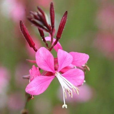 Oenothera lindheimeri Siskiyou Pink