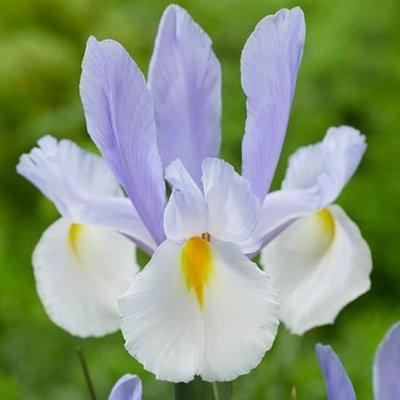Iris Silvery Beauty
