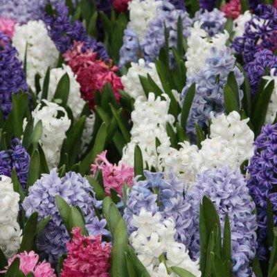 Colourful garden hyacinth collection