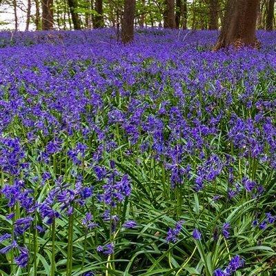 Hyacinthoides non-scripta - potted bulbs