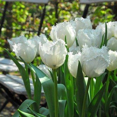 Tulipa Swan Wings