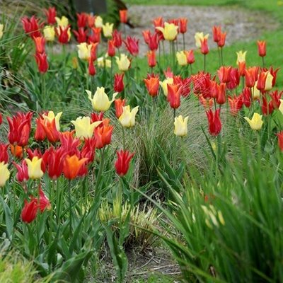 Oranges and lemons lily tulip collection