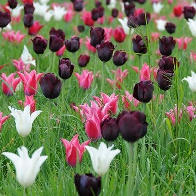Neapolitan tulip collection