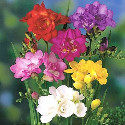 Freesia double flowering mixed