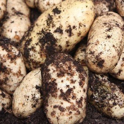 potato International Kidney