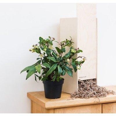 Helleborus sahinii Winterbells - Gift Crate