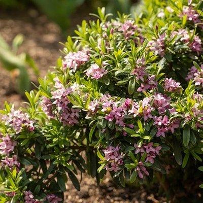 Daphne transatlantica Pink Fragrance (