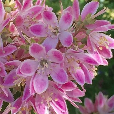 Deutzia hybrida Strawberry Fields