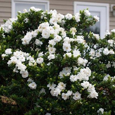 Gardenia jasminoides Crown Jewel (PBR)