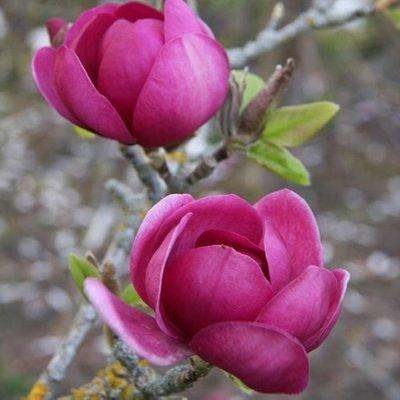 Magnolia Black Tulip (