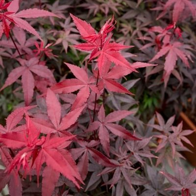 Acer palmatum Twombly