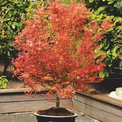 Acer palmatum Wilson