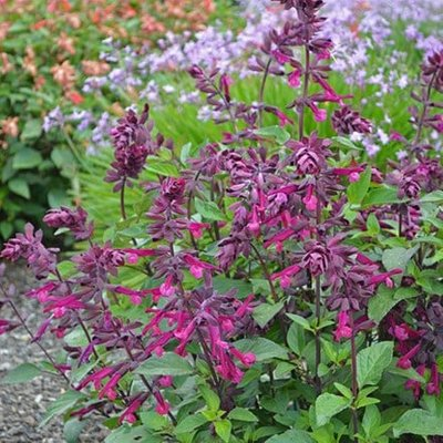 Salvia Love and Wishes (