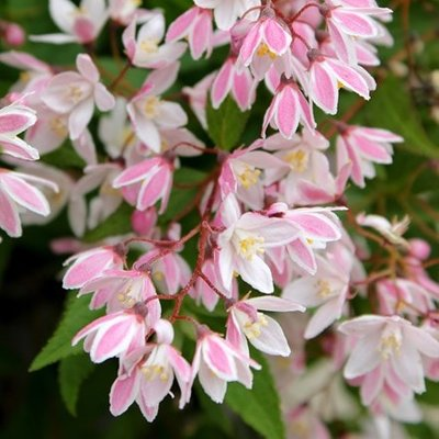 Deutzia rosea Yuki Cherry Blossom (