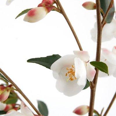 Camellia rosthorniana Cupido (