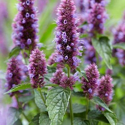 Agastache Beelicious Purple (