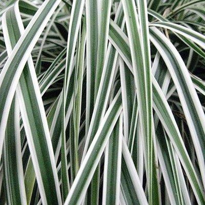 Carex oshimensis Everest (