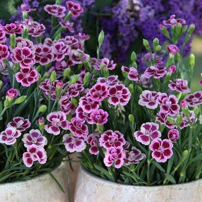 Dianthus Pink Kisses (
