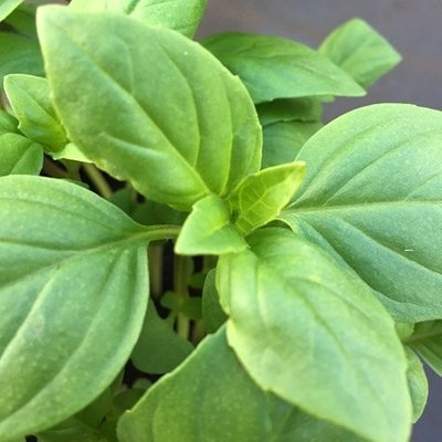Ocimum basilicum Thai