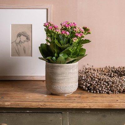 Kalanchoe blossfeldiana Don Nando (PBR)