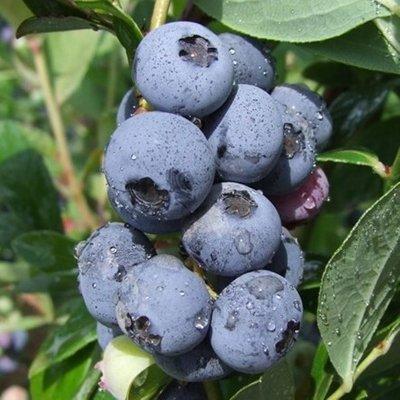 blueberry Blauweiss-Goldtraube