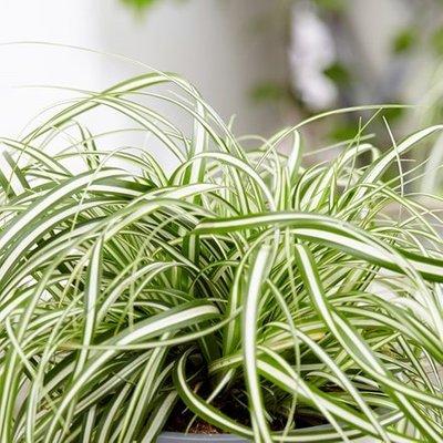 Carex oshimensis Everlite (PBR) (EverColor Series)