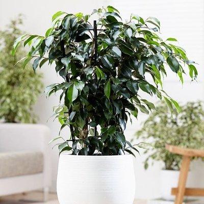 Ficus benjamina Danielle (PBR)