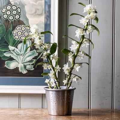 Dendrobium Spring Dream gx