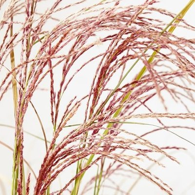 Miscanthus sinensis Red Cloud (