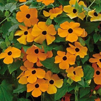 Thunbergia alata Suzie Orange with Eye (Suzie Series)