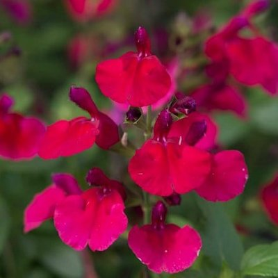 Salvia Mirage Cherry Red (