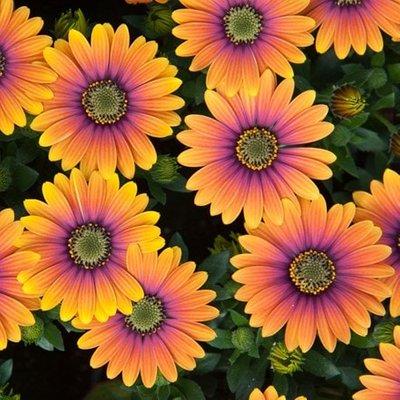 Osteospermum Purple Sun (